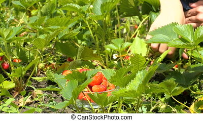 Young woman hands picking strawberry in field. 4k close up of