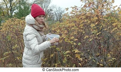 Young woman picking berries from a bush in the forest in autumn in cold weather