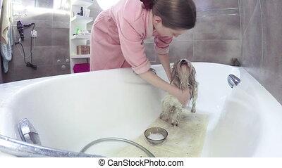 Young woman washing shih-tzu dog.