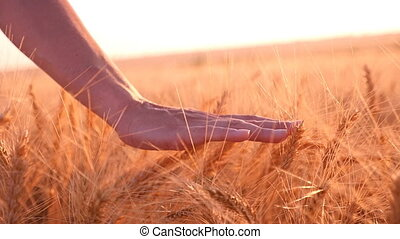 Young woman`s hand moves the spikes of ripe wheat in summer in slow motion