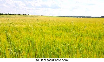 Young yellow green barley blowing in the wind. Field of ripening corn plants at middle of June.