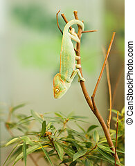 Young Yemen chameleon on the branch beeing on the lookout for beetle - Chameleo calyptratus
