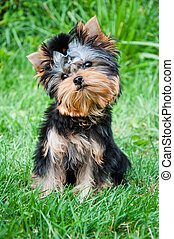 Young yorkshire terrier on the grass, outdoors
