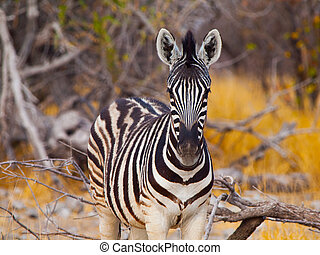Young zebra front view - Detailed view of young zebra...