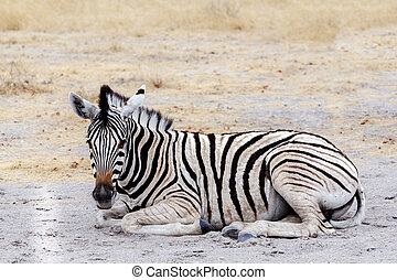 Young zebra in african bush. Etosha national Park, Ombika,...
