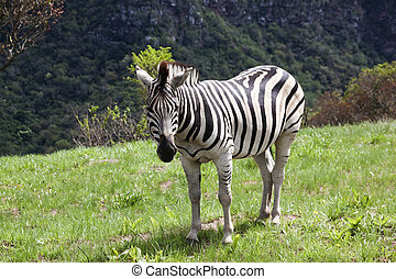 Young Zebra in Grassland of Nature Reserve - young zebra in...