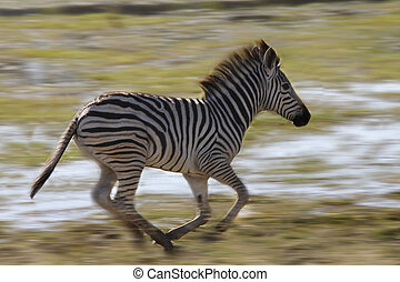 Young Zebra - Khwai River area of Botswana - A young Zebra...