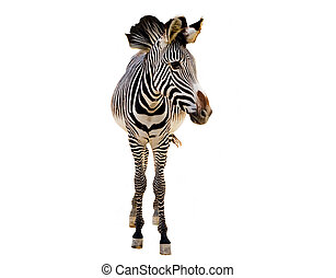 Young zebra over a white background.