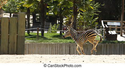 young zebra running and jumping among giraffes
