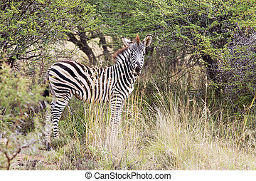 Young zebra standing in the bush