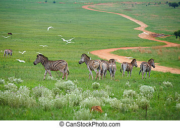 Young Zebra - Young zebra in the wild - spring grass