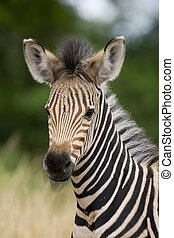 Young Zebra - Young burchell zebra with mottle green...