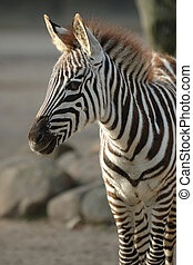 Young zebra is standing in the sun