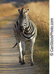 Young Zebra - Young zebra in the wild - winter grass