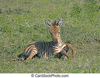 Young Zebra - Close up of a Baby Zebra in Tanzania