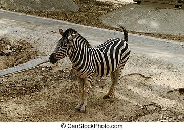 Young zebra walking in zoopark in Thailand