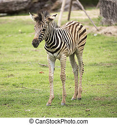Young zebra walking on the park