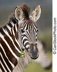 Young zebra with startled look while eating fress grass