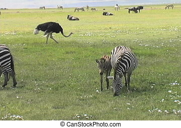 Young Zebra - Zebras graze with many animals in the...