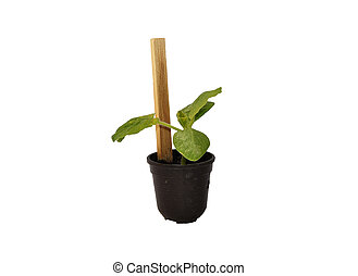Young zucchini plant in pot
