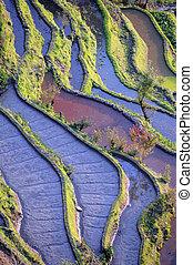 yuanyang, terrazzi, riso, yunnan, porcellana