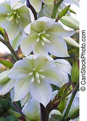 yuca, flores blancas