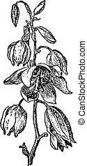 yuca, vendimia, baccata, datil, yuca, o, engraving.