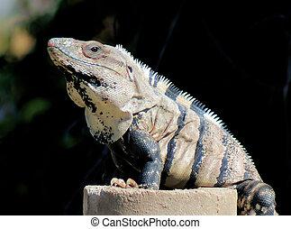 Yucatan Native Iguana