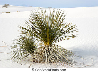 Yucca at White Sands