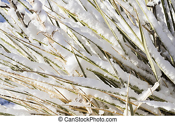 Yucca cactus cpvered with fresh snow.