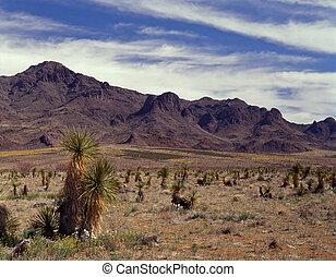 Yucca Catus w/ Florida Mts.