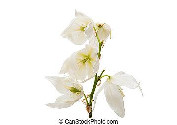 yucca flower on white background