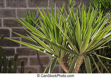 Yucca palm - A yucca palm planted in a garden