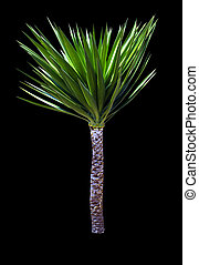 yucca palm tree isolated on black background