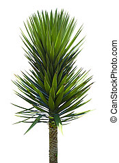 yucca palm tree isolated on white background
