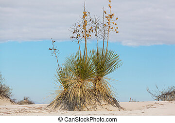 Yucca - Soaptree yucca (Yucca elata) clinging to a dune at...