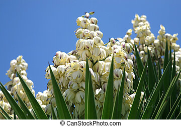 Yucca plant blossom