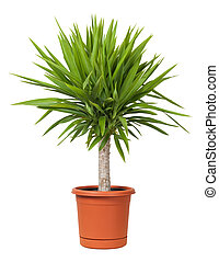 Yucca Potted Plant isolated on a white background