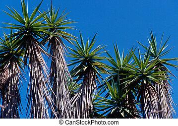 Yucca in California desert