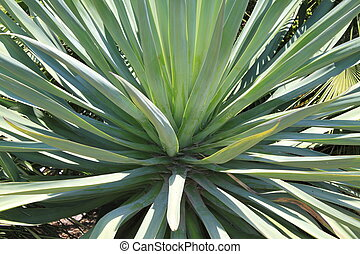 Yucca - Close up view of yucca in the sun