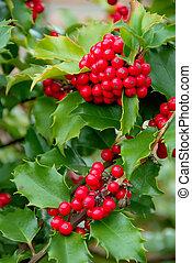 Yuletide Holly Berries - English Holly (Ilex aquifolium)...
