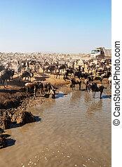 zèbres, national, gnou, troupeau, grand, serengeti, park.