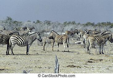 zèbres, plaines, parc national, etosha, namibia.