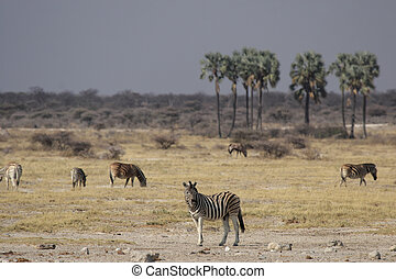 zèbres, plaines, parc national, namibie, etosha