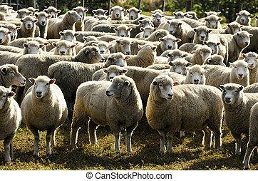 zélande, ferme mouton, voyage, -, nouveau