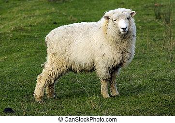 zélande, nouveau, perendale, mouton