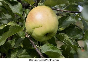 zöld, apple.