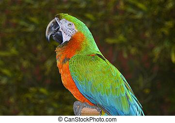 zöld, ara papagáj, narancs