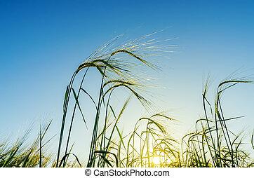 zöld búza, alatt, napnyugta, képben látható, mező