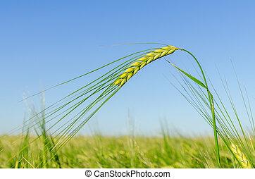 zöld, betakarít, alatt, mező, képben látható, napnyugta